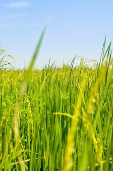 Prachtig natuurlijk landschap van groene rijstvelden op het platteland van thailand.