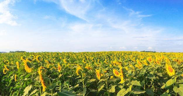 Prachtig panorama van zonnebloemengebied onder blauwe hemel, het landschap van de aardzomer