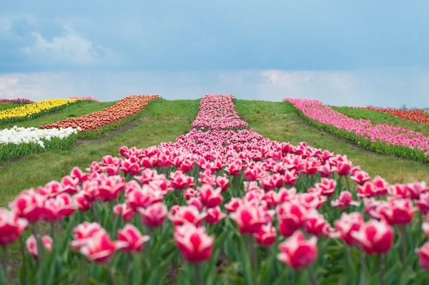 Prachtig paradijs tulpenveld met verschillende soorten en kleuren natuurlandschap in europa vers