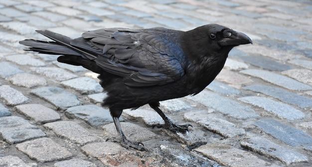 Prachtig profiel van een zwarte kraai die op een geplaveide wandeling staat.