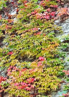 Prachtig rood en groen klimopblad claimt de muur op. muur is verborgen onder de klimop. dikke lijkwade van klimop. muur is met klimop omgeven.