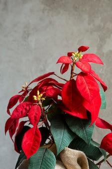 Prachtig rood kerstster arrangement