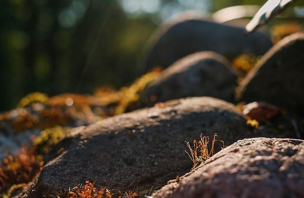 Prachtig rood mos groeit op ruwe granieten stenen in het noorden in het bos in de stralen van de ondergaande zon. selectieve focus op bloeiend mos. achtergrondverlichting. rotsen en mosstructuren in de natuur voor behang