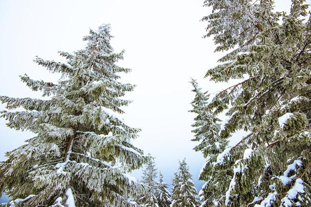 Prachtig ruw zicht op dennenbomen in de sneeuw en hellingen in het koude noordelijke land. het concept van ontspanning in het wilde landschap, weg van de beschaving