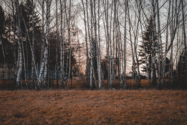 Prachtig schot van hoge bomen met kale takken in het bos op een sombere dag