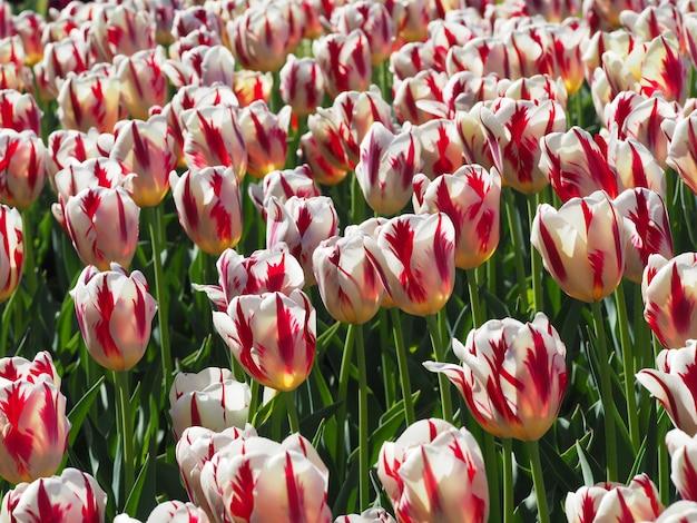 Prachtig shot van betoverende tulipa sprengeri bloeiende planten in het midden van het veld