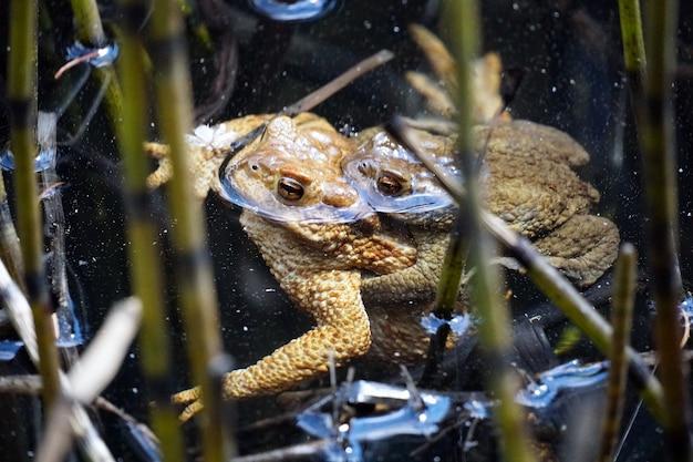 Prachtig shot van een paar kikkers in het kleine meer genaamd sulfner in zuid-tirol, italië