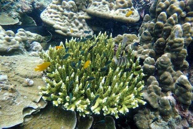 Prachtig staghorn koraal onder de zee