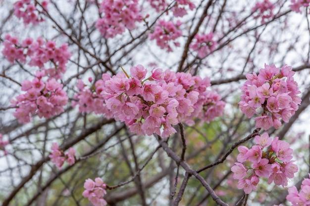 Prachtig uitzicht kersenbloesem in bloei, provincie chiang rai, thailand, soft focus,