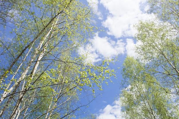 Prachtig uitzicht op de berkenbomen tegen de blauwe hemel in de lentedag