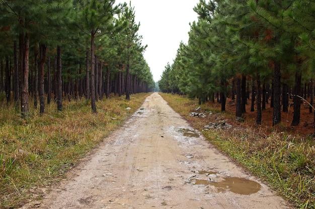 Prachtig uitzicht op een modderige weg die door de verbazingwekkende hoge bomen loopt