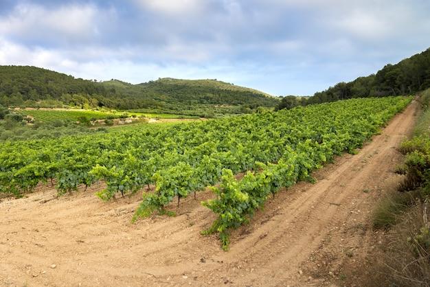 Prachtig uitzicht op een wijngaard op een bewolkte dag - perfect voor behang