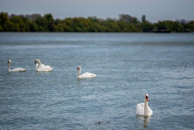 Prachtig uitzicht op een zwaan die in het meer in het park zwemt