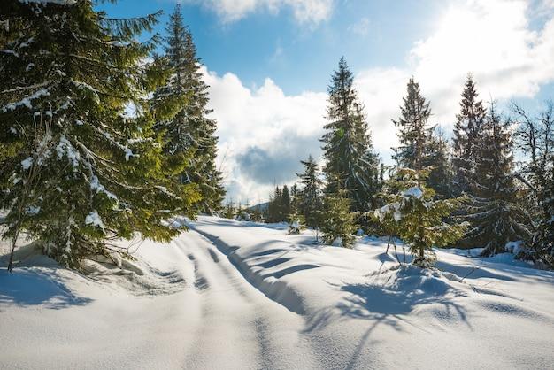 Prachtig uitzicht op majestueuze groene sparren die op een heuvel groeien in de wintersneeuwbanken