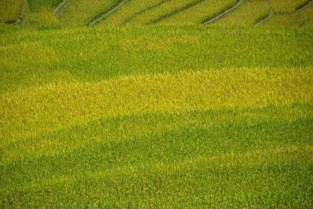 Prachtig uitzicht op rijstterras in mu cang chai, vietnam, landbouwer implant op hoge berg.