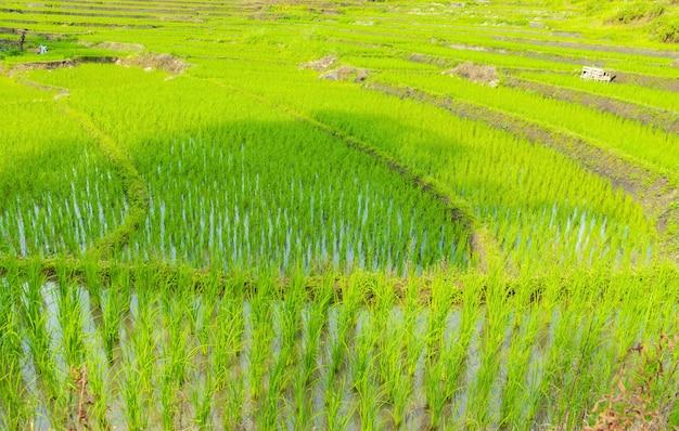 Prachtig uitzicht op rijstvelden in het regenseizoen in het noorden van thailand.