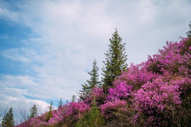 Prachtig uitzicht van roze rododendron bloemen bloeien op berghelling met groene bomen en blauwe bewolkte hemel. schoonheid van de natuur concept