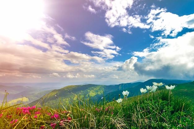 Prachtig uitzicht van roze rododendron rue bloemen bloeien op berghelling met mistige heuvels met groen gras en karpaten in de verte met dramatische wolken hemel. schoonheid van de natuur concept.