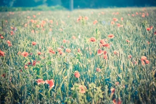 Prachtig veld met klaprozen in de ochtendfilter