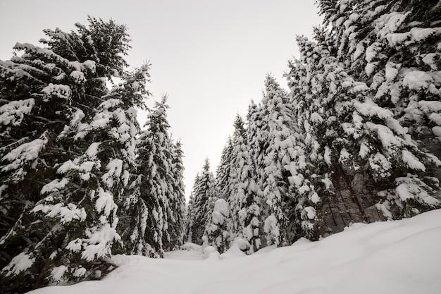 Prachtig winterlandschap. dicht bergbos met lange donkergroene sparren bedekt met schone diepe sneeuw.