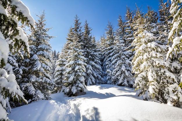 Prachtig winterlandschap. lange sparren bedekt met diepe sneeuw en vorst verlicht door felle zonnestralen op heldere blauwe hemel