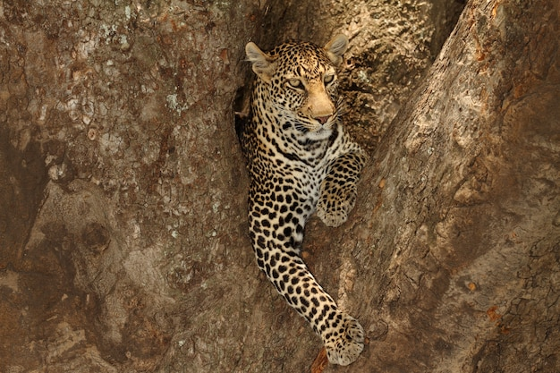 Prachtige afrikaanse luipaard liggend op de tak van een boom in de afrikaanse jungle