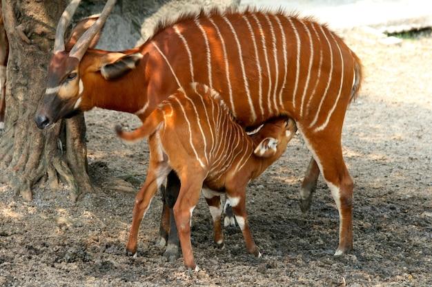 Prachtige bergbongo met zijn baby