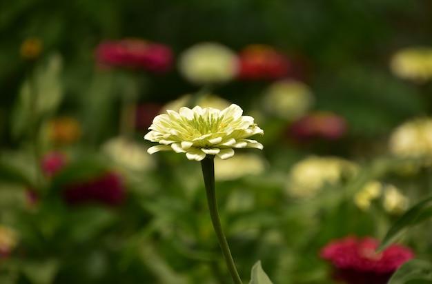Prachtige bloeiende en bloeiende witte dahlia bloem bloeien in de zomer.