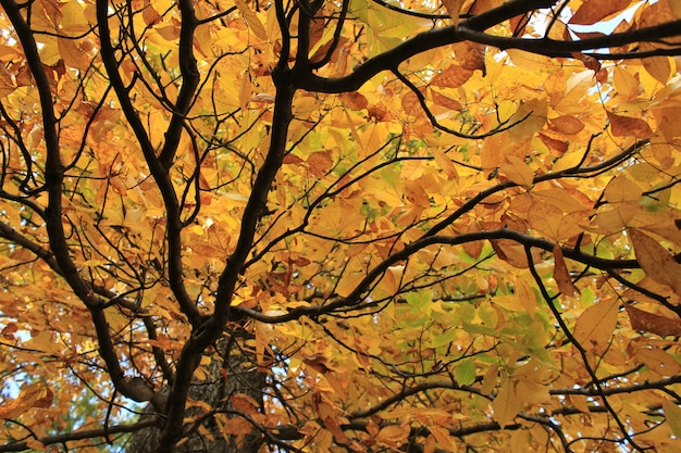 Prachtige boomtop met gele herfstbladeren van onderen bekeken