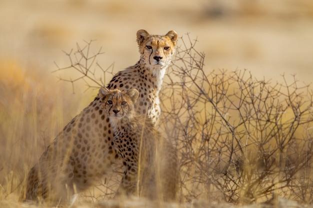 Prachtige cheeta's tussen de planten midden in de woestijn
