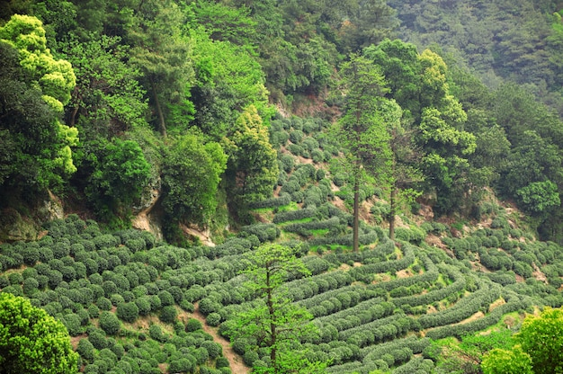 Prachtige frisse groene chinese longjing theeplantage. hangzhou xi hu west lake
