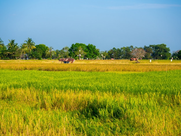 Prachtige gouden en groene rijstvelden