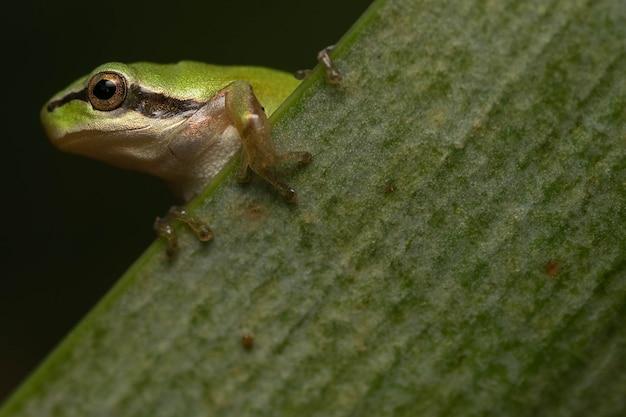 Prachtige groene boomkikker op een blad met mooie gouden ogen en zwarte achtergrond