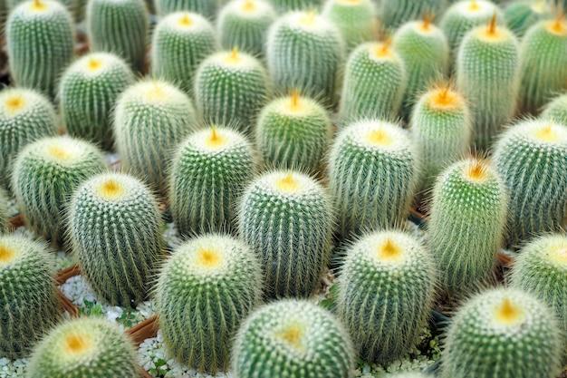 Prachtige groene cactusplant in bloempot