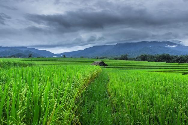 Prachtige groene rijstvelden in bengkulu utara