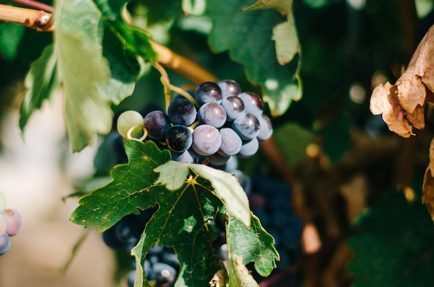 Prachtige groene wijngaard in spanje
