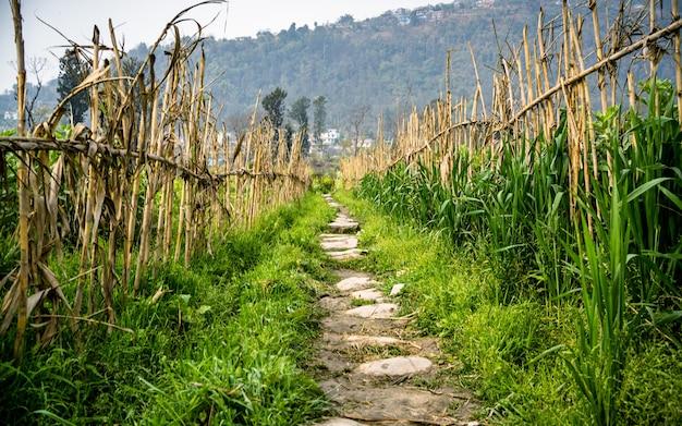 Prachtige landschapsmening van de mosterdboerderij van het lenteseizoen in kathmandu, nepal