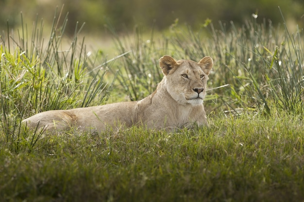 Prachtige leeuwin liggend op een veld bedekt met groen gras