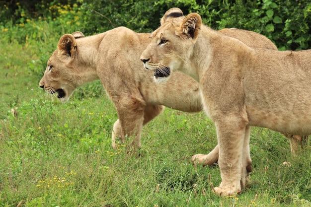Prachtige leeuwinnen die op de met gras bedekte velden bij de struiken lopen