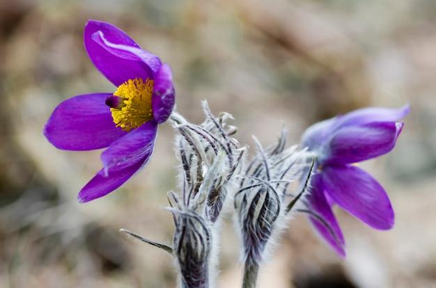 Prachtige lente achtergrond met paarse delicate eerste lentebloemen pulsatilla vulgaris.