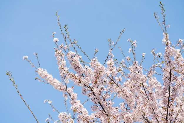 Prachtige lente bloem kersenbloesems