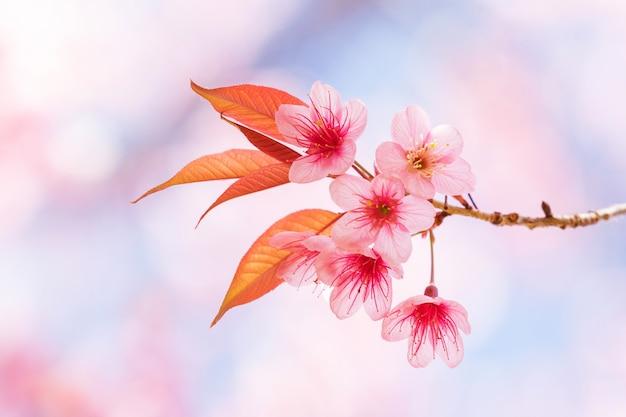 Prachtige lente kersenbloesem