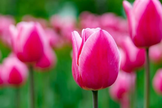 Prachtige lente roze tulpen.