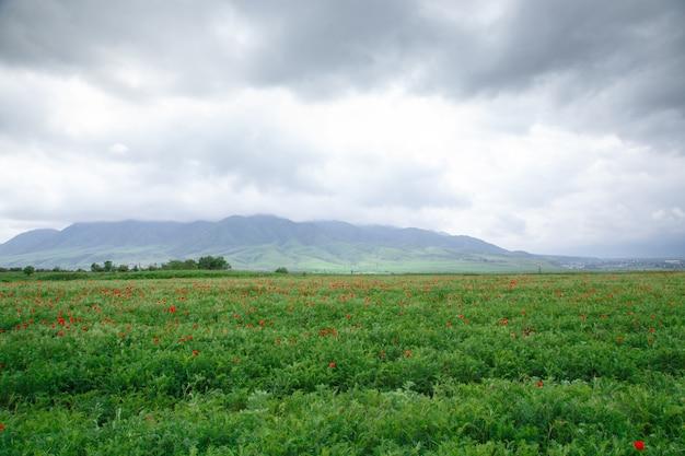Prachtige lente vallei met groen gras en bloeiende rode papavers. zomer landschap. toerisme en reizen. kirgizië