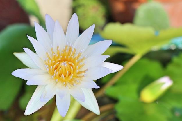 Prachtige lotusbloemen in tropisch