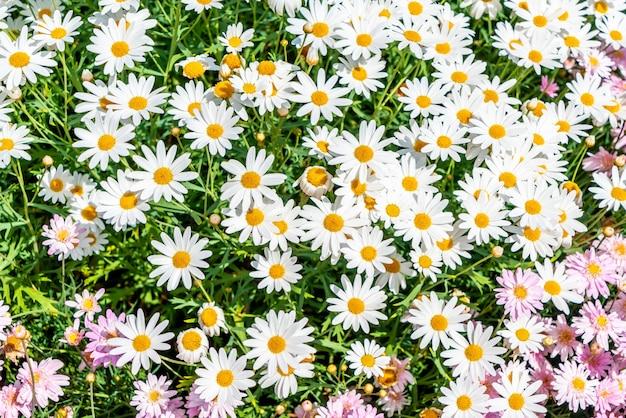 Prachtige madeliefjebloemen
