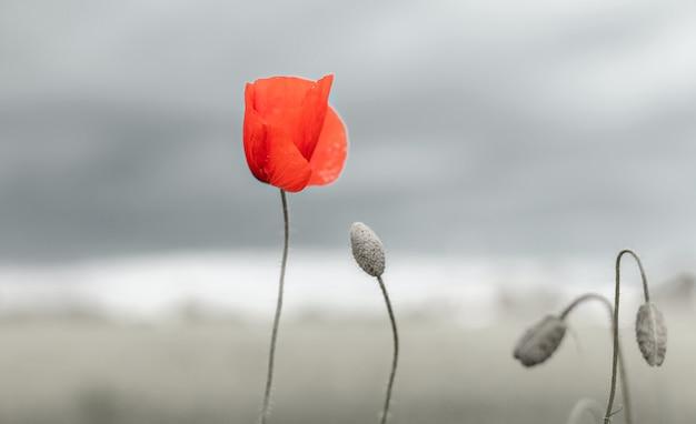 Prachtige natuur achtergrond met rode papaver bloemen papaver op grijze achtergrond