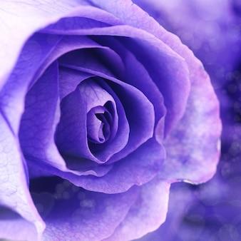 Prachtige paarse rozen