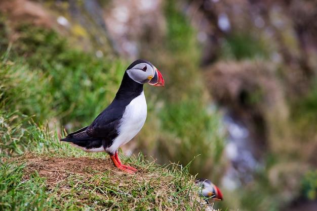 Prachtige papegaaiduikers op de kliffen van latrabjarg, een voorgebergte en het meest westelijke punt van ijsland. de thuisbasis van miljoenen papegaaiduikers, jan-van-genten, zeekoeten en scheermesjes. westfjorden, ijsland
