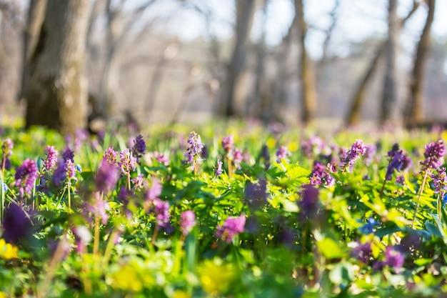Prachtige tuin lentebloemen. natuurlijke achtergrond.